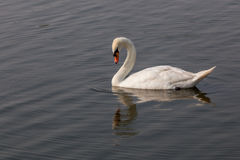 White swan looking down to Water. With its reflection on the water surface Stock Images