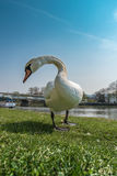 White swan is is looking at me at the riverban royalty free stock photo
