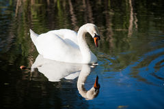 White swan looking at reflection in lake Stock Photography