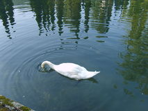 White Swan lowered his head into the lake Royalty Free Stock Image