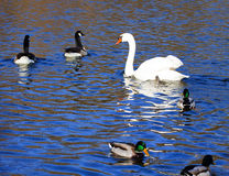 White swan, mallards and ruddy ducks on blue lake waters Stock Images