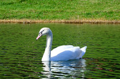 White swan in the middle of the pond Stock Photo