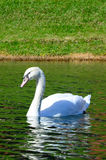 White swan in the middle of the pond Royalty Free Stock Images
