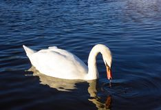 White Swan in the morning,Copy space royalty free stock image