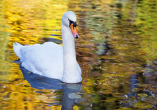 White swan in the morning Royalty Free Stock Image