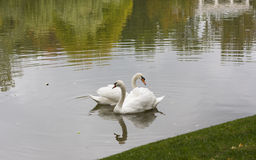 White swan in the morning in a lake Royalty Free Stock Photos