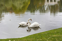 White swan in the morning in a lake Royalty Free Stock Photo