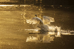 White swan in the morning, mute swan in the mist start to fly Royalty Free Stock Photos