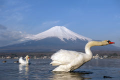 White Swan and Mt Fuji Stock Photo