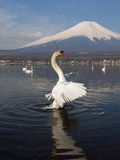 White Swan and Mt Fuji Royalty Free Stock Photography