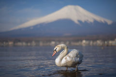 White Swan and Mt Fuji Stock Photography