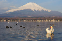 White Swan and Mt Fuji Royalty Free Stock Photos