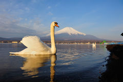 White Swan and Mt Fuji Stock Photos