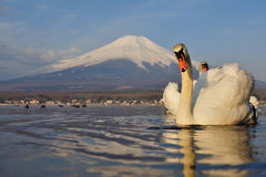 White Swan and Mt Fuji Royalty Free Stock Images