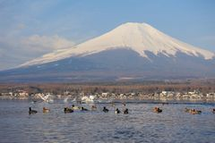 White Swan and Mt Fuji Stock Images
