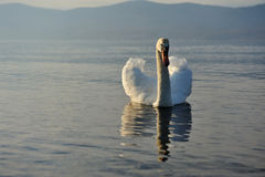 White Swan and Mt Fuji Royalty Free Stock Photo