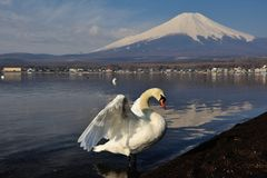 White Swan and Mt Fuji Stock Image
