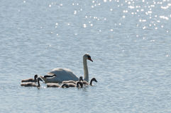 White swan mum with fluffy chicks stock images