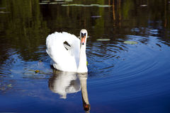 White swan with the napped feathers Stock Image