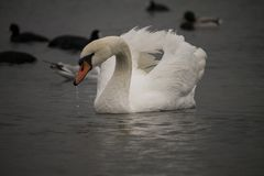 White swan near the Chornomorsk ferry, Ukraine Royalty Free Stock Photography