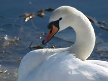 White swan near the river in winter royalty free stock photography