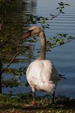 White swan near the rural pond surrounded by green trees and grass. Swan closeup royalty free stock images