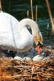 White Swan in the Nest With Eggs. White mute swan Cygnus olor while hatching the eggs in the nest made of reeds Stock Image