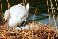 White Swan in the Nest With Eggs. White mute swan Cygnus olor while hatching the eggs in the nest made of reeds Stock Photo