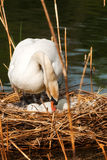 White Swan in the Nest With Eggs. White mute swan Cygnus olor while hatching the eggs in the nest made of reeds Stock Photography