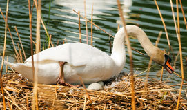 White Swan in the Nest With Eggs. White mute swan Cygnus olor while hatching the eggs in the nest made of reeds Royalty Free Stock Photos