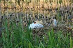 White Swan on Nest. In River Stock Images