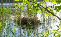 White swan on the nest Royalty Free Stock Photography