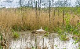 White swan nesting stock photo