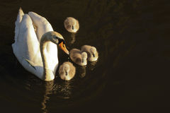 White swan with nestling on dark water in the early morning.  stock photos