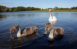 White swan with nestlings Stock Images