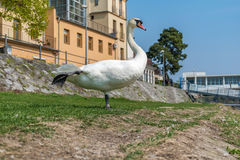 White swan observing and relaxing on the riverbank Stock Images