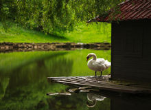 Free White Swan On A Pond In A City Park Royalty Free Stock Image - 54910386