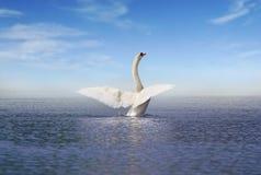 Free White Swan On The Lake Stock Photo - 103150150