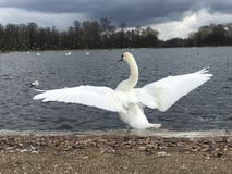 White swan opening wings royalty free stock photo