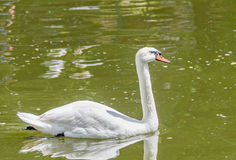 White swan with orange beak, feathers, close up, isolated on water background.  royalty free stock images