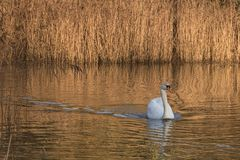 A white swan in the golden light of the reeds on the Ornamental Pond, Southampton Common. A white swan on  the Ornamental Lake, Southampton Common, Hampshire, UK Royalty Free Stock Image