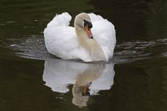 A mute swan at the Ornamental Pond, Southampton Common stock images