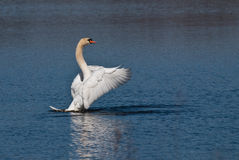 White Swan with Outstretched Wings Stock Images