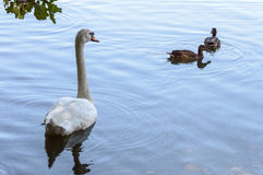 White swan over looking two brown ducks Stock Photography
