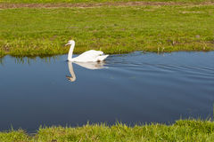 White swan paddling in a small stream Stock Image