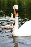 White swan parents wit little cute grey chicks. White swan parents wit little cute grey ducklings on a lake Stock Image