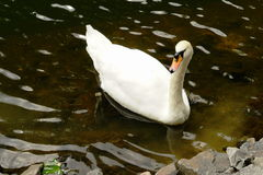 White swan in the park.  Royalty Free Stock Photo