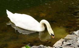 White swan in the park.  Royalty Free Stock Image