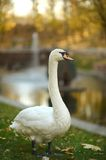 White swan in the park Stock Photography