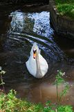 White swan in the park in Leeds Castle Royalty Free Stock Photo